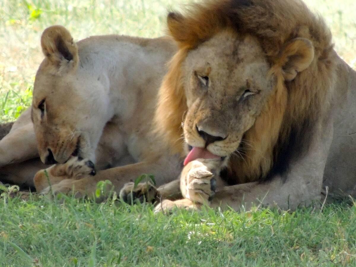 lions 175933 1280
