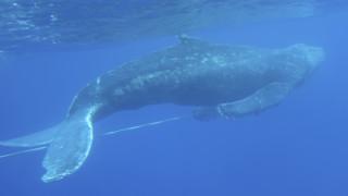 Εντυπωσιακές εικόνες: Βρέθηκε φάλαινα που περπατούσε στην ξηρά!