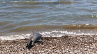 Προβληματισμός για τα νεκρά δελφίνια στο Αιγαίο: Η υπεραλίευση, ο τουρισμός και οι ναυτικές ασκήσεις