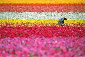 1995 Στην Καλιφόρνια ένας εργάτης μαζεύει λουλούδια εν όψει του Πάσχα.