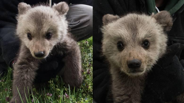 Μπράντλεϊ και... Κούπερ: Τα δύο νέα αρκουδάκια που υιοθέτησε ο «Αρκτούρος»