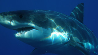Λευκός καρχαρίας προσπάθησε να φάει θαλάσσια χελώνα και πνίγηκε