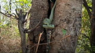 Φίδι παλεύει επί 20 λεπτά να καταπιεί τεράστια σαύρα