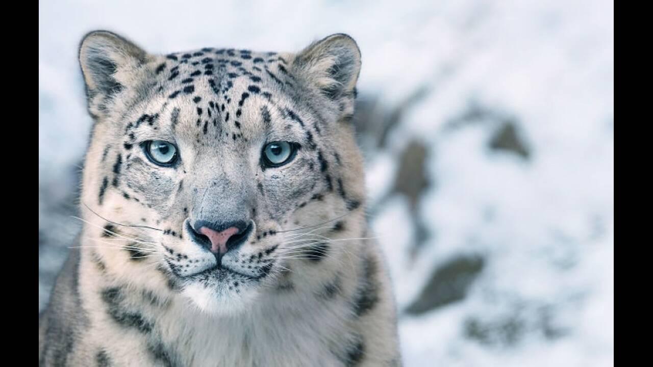Λεοπάρδαλη των χιονιών