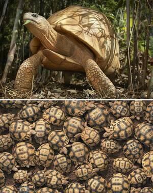 Χελώνα Ανγκονόκα