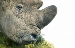 Βόρειος λευκός ρινόκερος