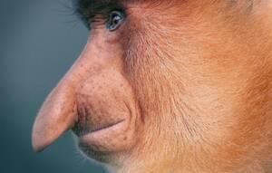 Μαϊμού με προβοσκίδα