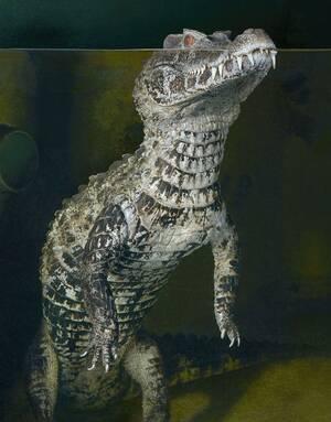 Κροκόδειλος Caiman