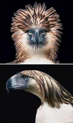 Αετός των Φιλιππίνων