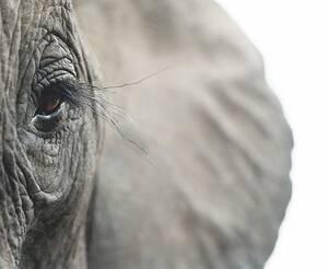 Αφρικανικός ελέφαντας