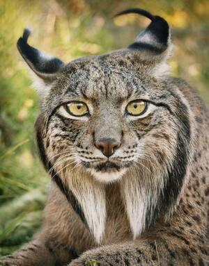 Ιβηρικός λύγκας