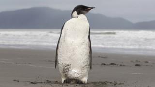 Οι «Αυτοκρατορικοί Πιγκουίνοι» κινδυνεύουν με αφανισμό