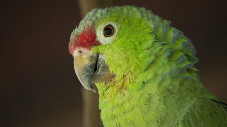 Βραζιλία: Συνελήφθη... παπαγάλος που έκανε τον «τσιλιαδόρο» σε εμπόρους ναρκωτικών