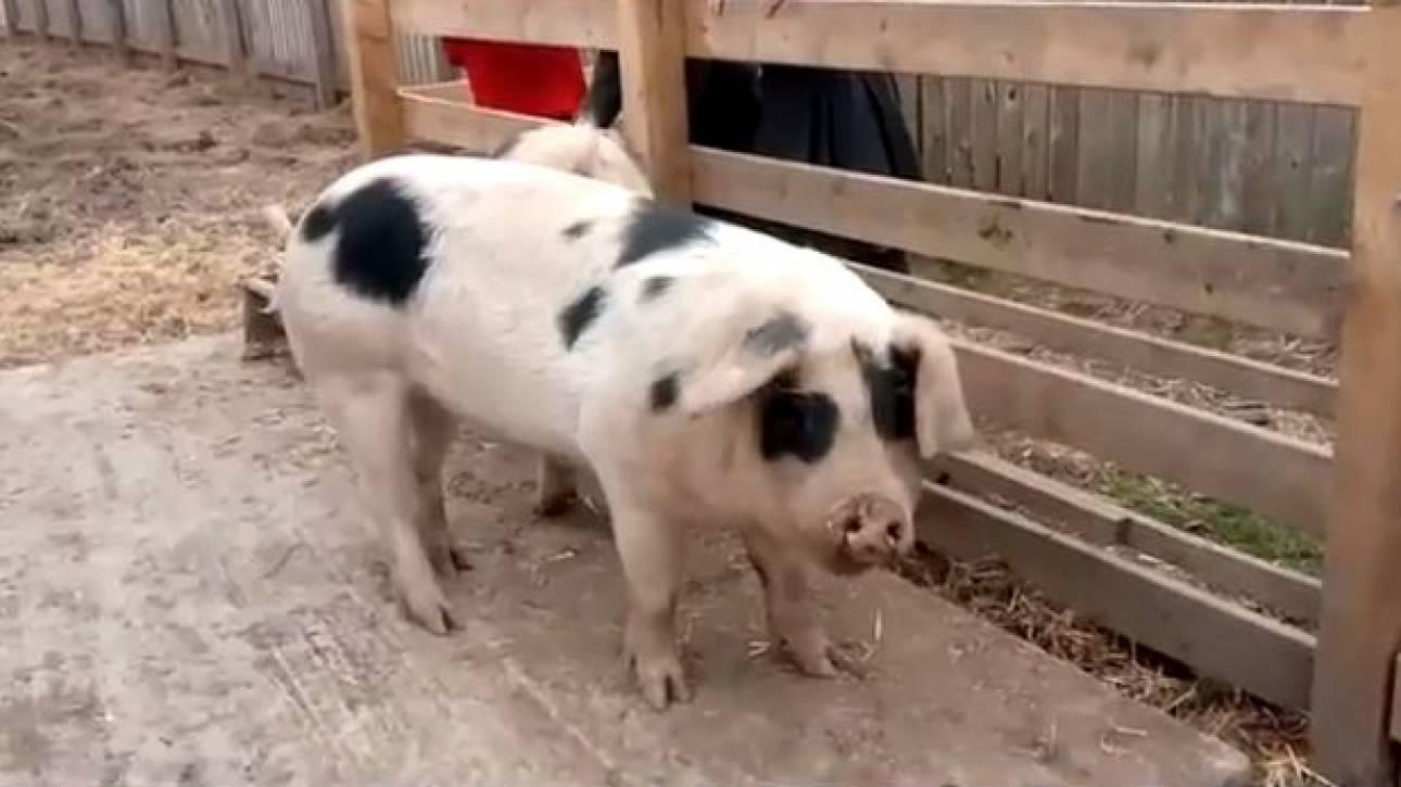 Βρετανία: Διευθυντής σχολείου στέλνει στο σφαγείο τα γουρούνια που μεγάλωσαν οι μαθητές