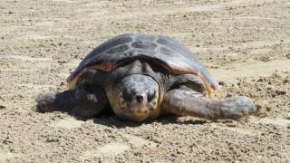 Χανιά: Μέτρα για την προστασία της θαλάσσιας χελώνας καρέτα - καρέτα