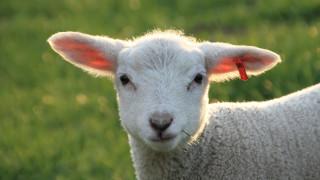 Σχολείο στη Γαλλία έγραψε ως νέους μαθητές 15… πρόβατα