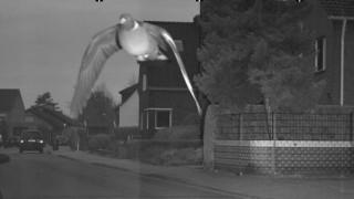 Ιπτάμενος παραβάτης: Viral περιστέρι που ξεπέρασε το όριο ταχύτητας