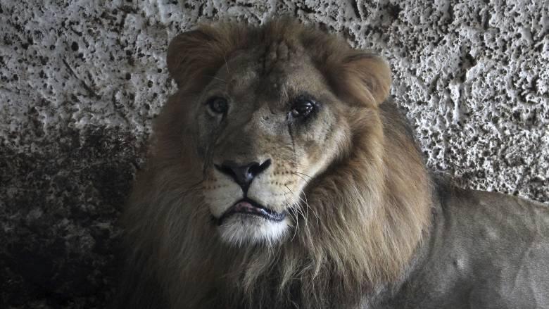 Τέλος ο «Γολγοθάς» για τρία υποσιτισμένα και άρρωστα λιοντάρια στην Αλβανία
