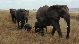 Η Ζιμπάμπουε έχει τόσους… ελέφαντες που τους βγάζει στο σφυρί!