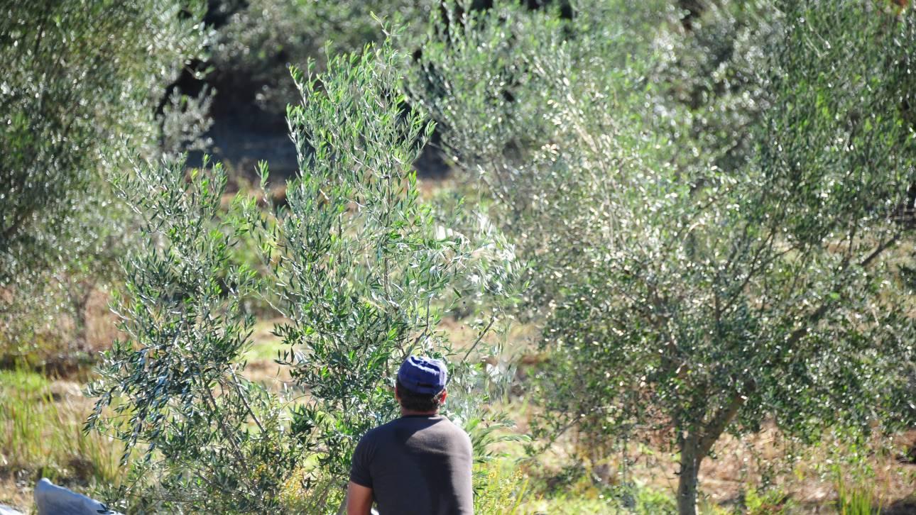 EFSA: Συναγερμός για εξάπλωση βακτηρίου που «σκοτώνει» τις ελιές στην Ελλάδα