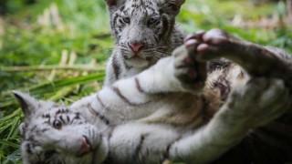 Δύο μικρά λευκά τιγράκια από το Μεξικό μετακόμισαν στην Νικαράγουα