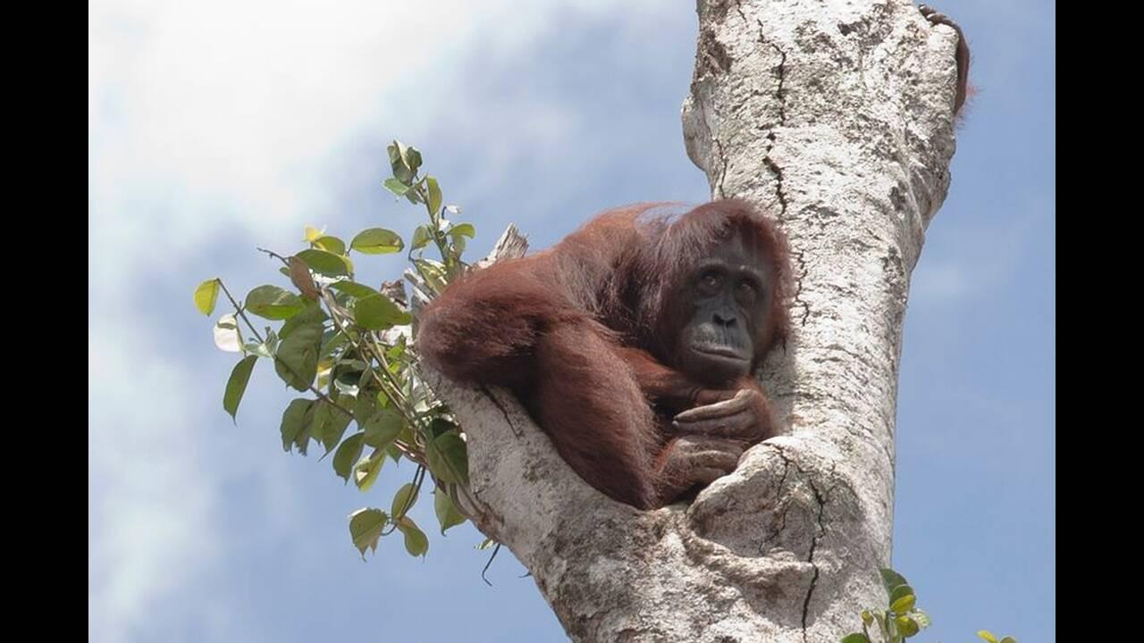 https://cdn.cnngreece.gr/media/news/2019/06/02/179049/photos/snapshot/People-Only-Orangutan-Boon-Mee-1.jpg