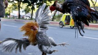 Γαλλία: Φασαριόζος κόκορας κάθεται στο εδώλιο του κατηγορουμένου γι΄ αυτό ακριβώς που φαντάζεστε!