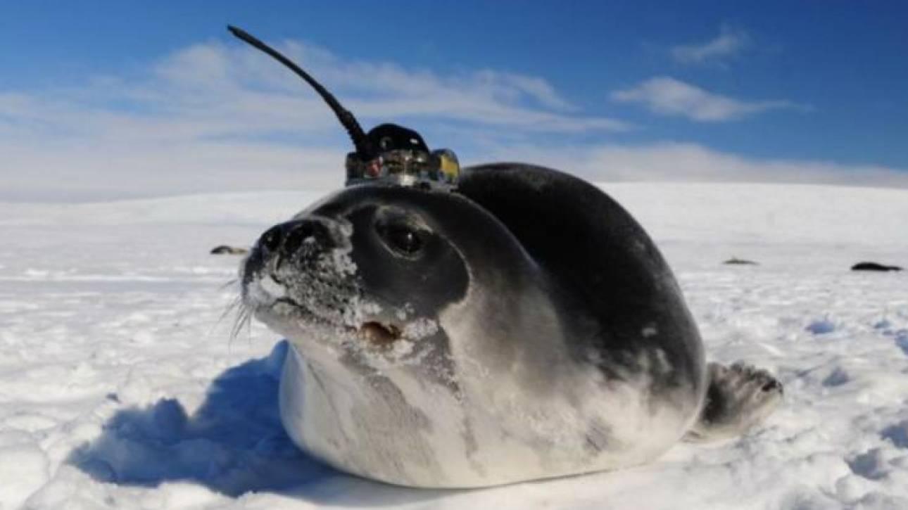 Απάντηση για τις μυστηριώδεις τρύπες στους πάγους της Ανταρκτικής έδωσαν οι... φώκιες