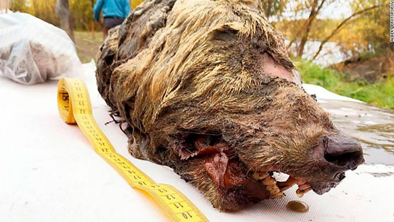 Κεφάλι λύκου ηλικίας... 40.000 ετών εντοπίστηκε στη Σιβηρία