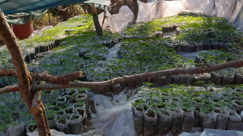 Εξαρθρώθηκε μεγάλο κύκλωμα καλλιέργειας κάνναβης - Ήταν έτοιμοι ακόμα και να σκοτώσουν