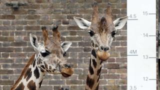 Μία στο δισεκατομμύριο: Δύο καμηλοπαρδάλεις σκοτώθηκαν από… κεραυνό σε ζωολογικό κήπο