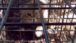 Είναι γάτα ή αλεπού; Μυστήριο με την ταυτότητα ζώου που εντοπίστηκε στην Κορσική (pics&vid)
