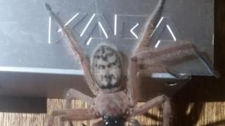 Εικόνες ακατάλληλες για αραχνοφοβικούς: Είδαν αράχνη να τρώει ολόκληρο… οπόσουμ