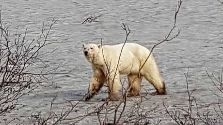 Θλιβερό θέαμα: Πολική αρκούδα περιφέρεται χαμένη και εξαντλημένη χιλιόμετρα από το «σπίτι» της