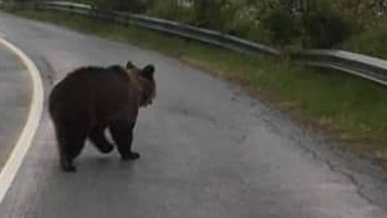 Βόλτα οικογένειας αρκούδων στη Φλώρινα έγινε viral