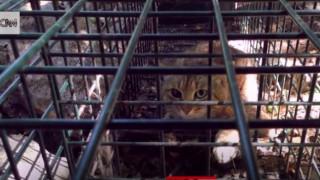 Νέο μυστηριώδες είδος γάτας-αλεπού εντοπίστηκε στην Κορσική