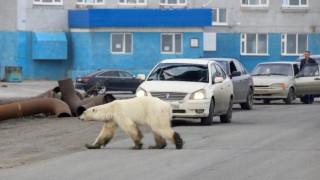 Βρέθηκε και μεταφέρθηκε σε ζωολογικό κήπο η πολική αρκούδα που περιπλανιόταν σε πόλη της Σιβηρίας
