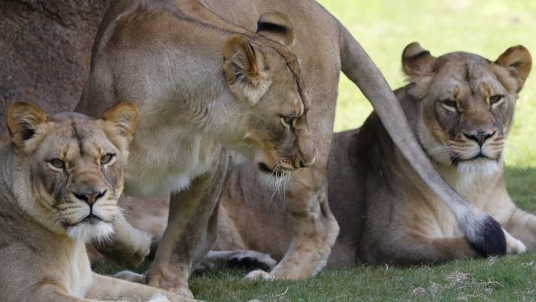 Η πιο αλλόκοτη άσκηση ασφάλειας σε ζωολογικό κήπο - Έμειναν έκπληκτα μέχρι και τα λιοντάρια