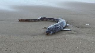 Αυστραλία: Θαλάσσιο πλάσμα «βγήκε» στη στεριά και σκόρπισε τον... τρόμο