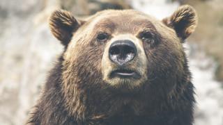 Αρκούδα τον κρατούσε ζωντανό 30 ολόκληρες ημέρες για να τον φάει; Σοκάρει η εικόνα του (vid)