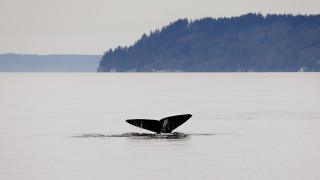 Ρωσία: Απελευθερώθηκαν από τη «φυλακή» τους οι πρώτες όρκες και φάλαινες μπελούγκα