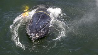 Αυστραλία: Επιχείρηση τεσσάρων ωρών για τη διάσωση μίας μεγάπτερης φάλαινας