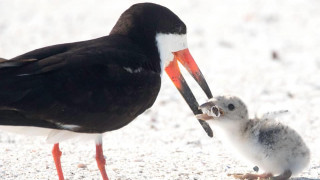 Οι εικόνες που συγκλόνισαν τον πλανήτη - Δείτε με τι «ταΐζει» πτηνό το νεοσσό του