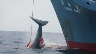 Χωρίς προσχήματα: Η Ιαπωνία ξεκινά τη φαλαινοθηρία – που δεν σταμάτησε ποτέ