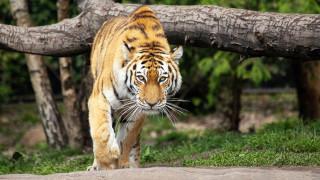 Βίντεο που κόβει την ανάσα: Μηχανόβιοι λίγο έλειψε να γίνουν το γεύμα… τίγρης