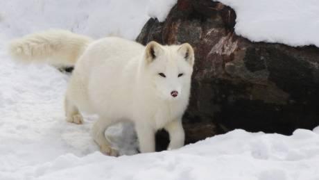 Το επικό ταξίδι μιας αρκτικής αλεπούς άφησε άφωνους τους επιστήμονες