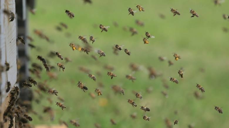 Γαλλία: Μάχη για τη ζωή του δίνει 70χρονος που δέχτηκε εκατοντάδες τσιμπήματα από μέλισσες