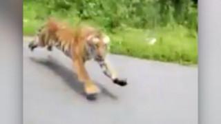 Έζησαν τη λαχτάρα της ζωής τους: Τίγρη πετάχτηκε από το δάσος και τους πήρε στο κατόπι