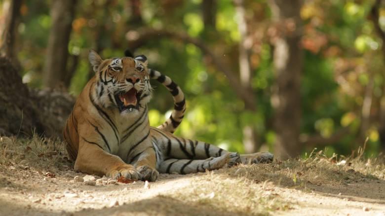 Ιταλία: Τίγρεις κατασπάραξαν τον θηριοδαμαστή τους