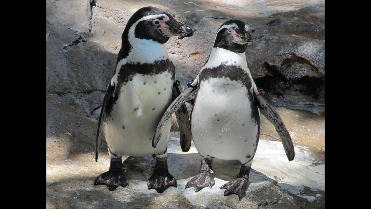 https://cdn.cnngreece.gr/media/news/2019/07/17/184670/photos/snapshot/penguin-pair-1975157_1280.jpg